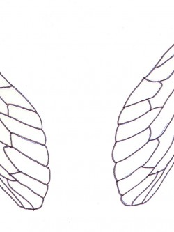 fairy cicada wings